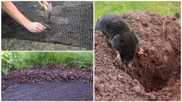 Борьба с кротами на садовом участке и даче