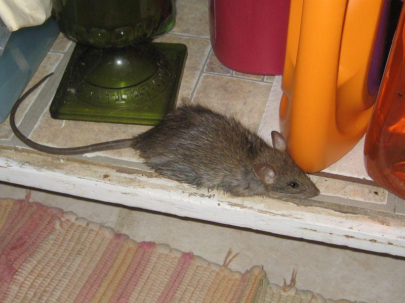 Клей от мышей для ловли крыс: чем очистить клей с пола и кота
