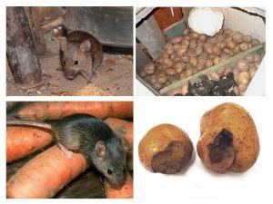 Служба по уничтожению грызунов, крыс и мышей в Москве