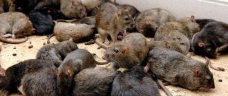 Фото крыс
