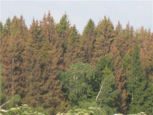 Защита деревьев от короеда-типографа