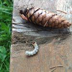 личинк короеда