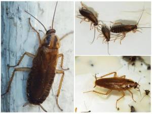 Как и чем морить тараканов в Балашихе?