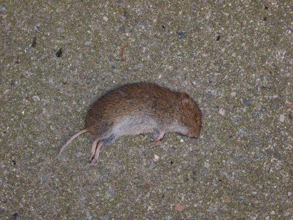 Как прогнать мышей с участка