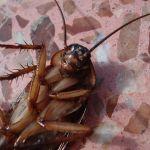 Уничтожение тараканов в Красногорске