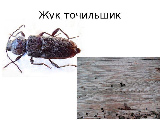 Мебельный точильщик личинка