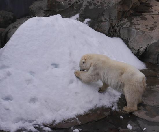 白クマ 雪あそび