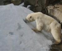 白クマ 餌を食べる