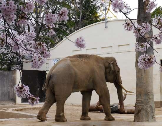 王子動物園 桜とゾウ