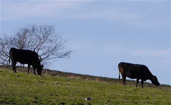 花さじき 放牧牛