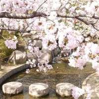 兵庫県・神戸 桜