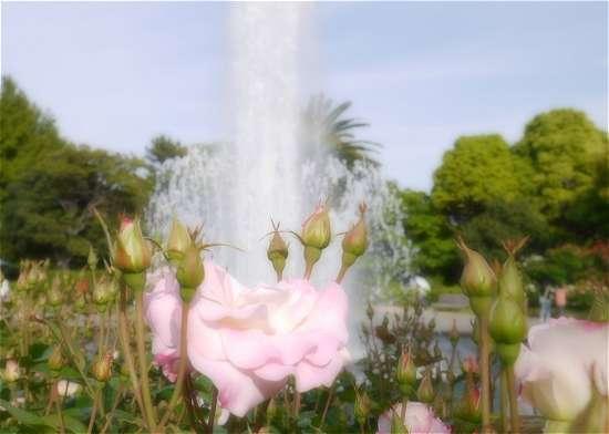 須磨離宮公園 噴水とバラ