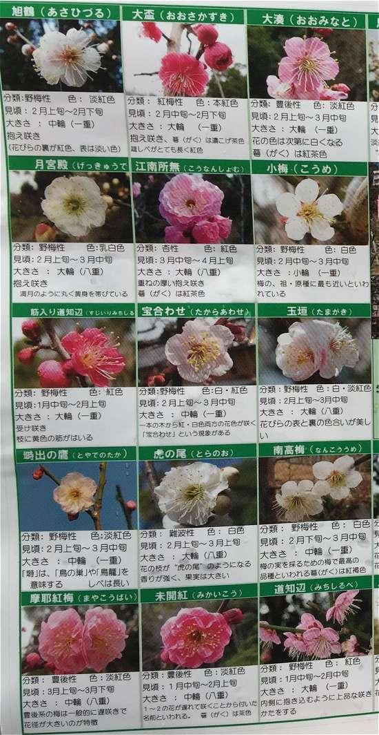 梅の種類 ピンク梅