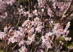 桜 須磨離宮公園