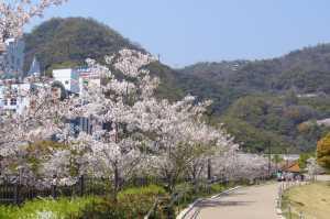 生田川 桜