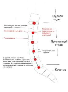схема позвоночника