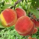 Персик Румяный