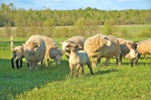 Lampaiden käyttäytymisen ominaisuudet