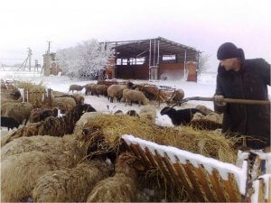 Ruokavalion ruokinta lampaita
