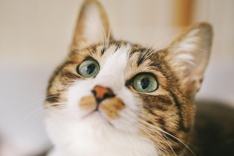 ムーンフェイスのような真ん丸顔の猫