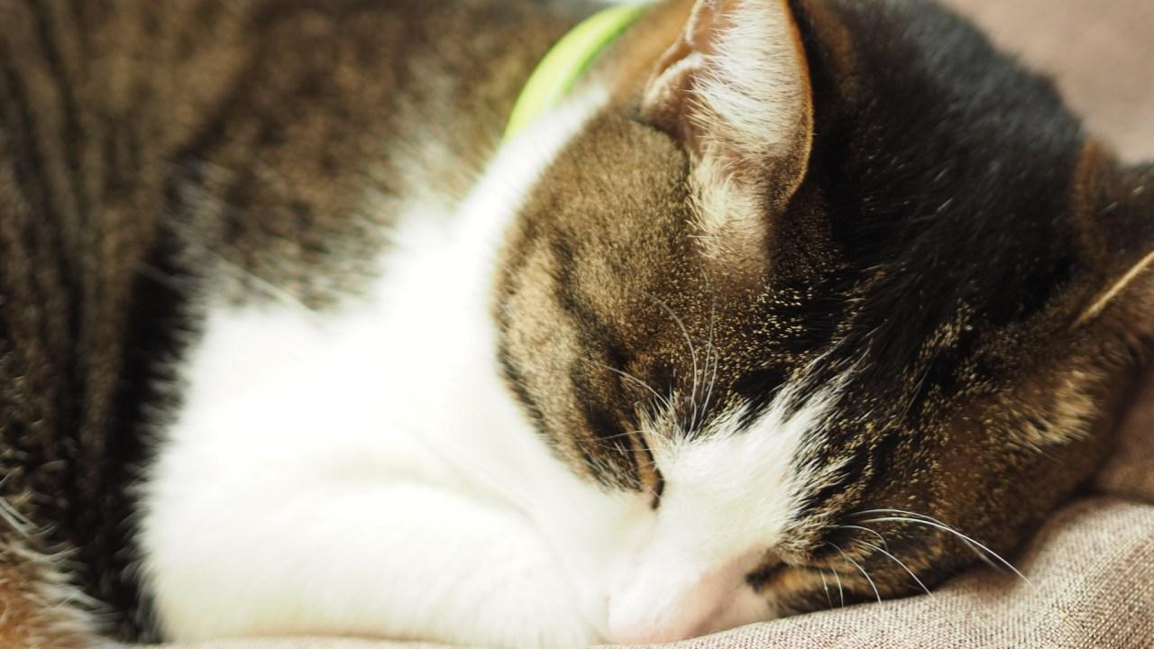 猫,胸膜炎,手術,原因,症状