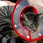 猫,怪我,エリザベスカラー