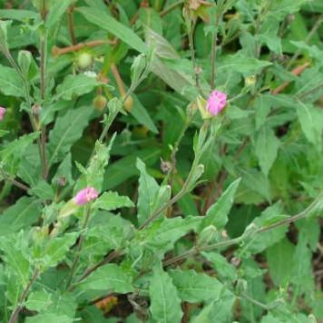 ChupaSangre Oenothera Rosea 6