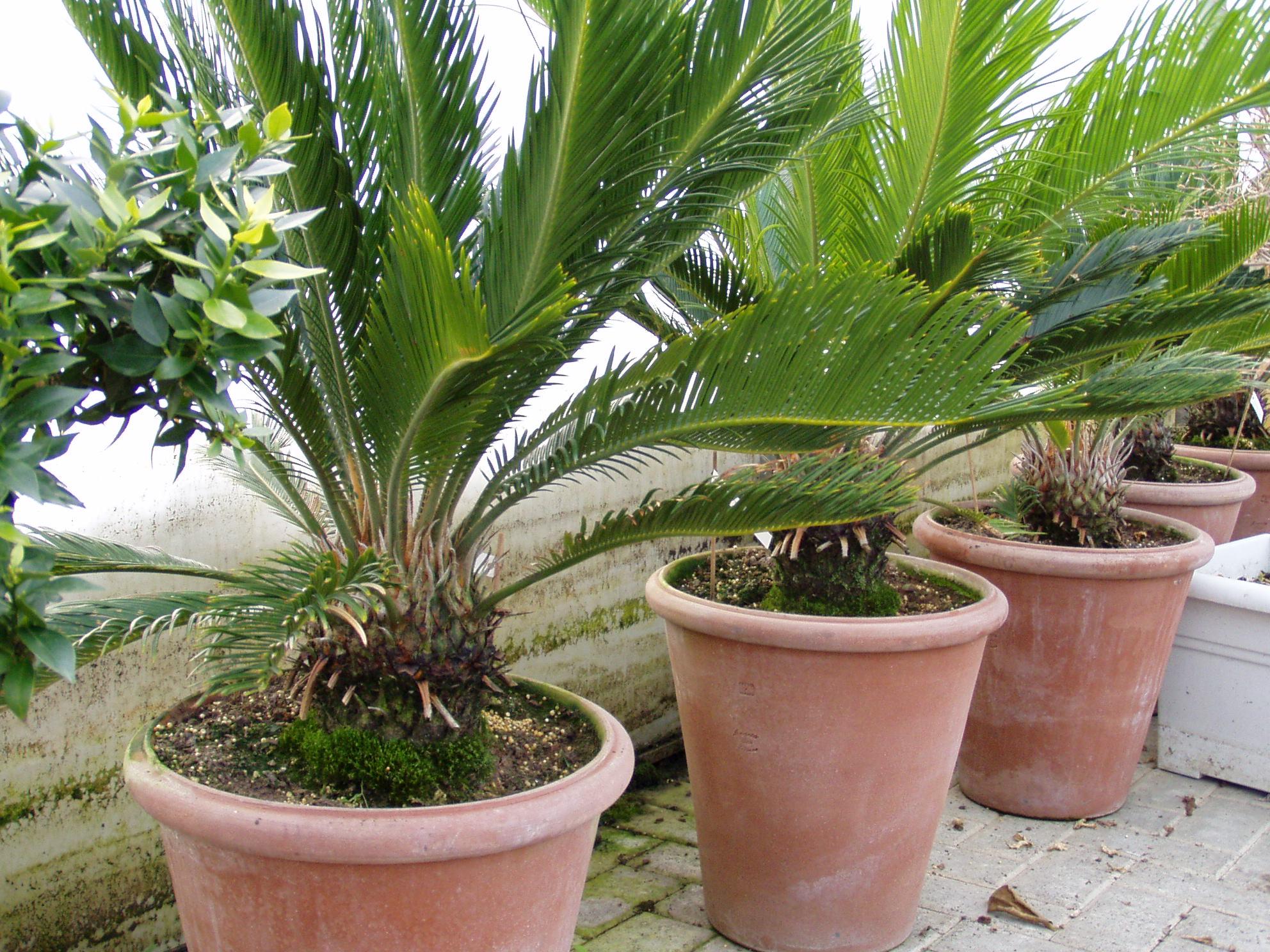 mediterrane Pflanzen - Palmen