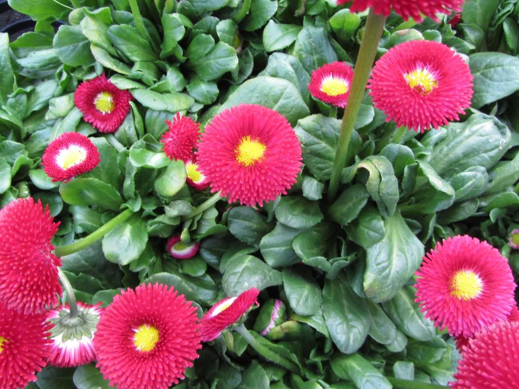Blumen-Gärtnerei Müller Bellis