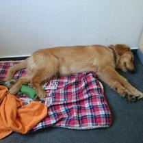 Bürohund Sam