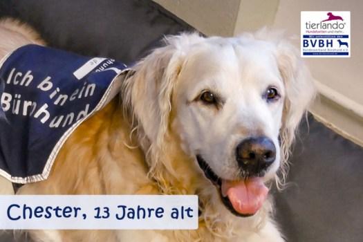 Chester (Golden Retriever) 13 Jahre alt, Mitinitiator des Bundesverbands Bürohund e.V. Partner von Markus Beyer, Gründer und 1. Vorsitzender BVBH