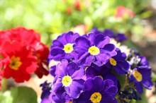 プリムラ 花言葉