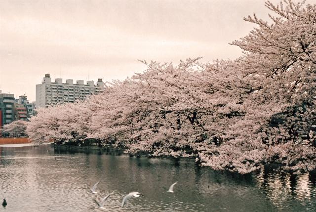 桜 種類 花言葉