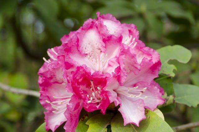 シャクナゲの花言葉と名前の由来!「高嶺の花」を意味する植物