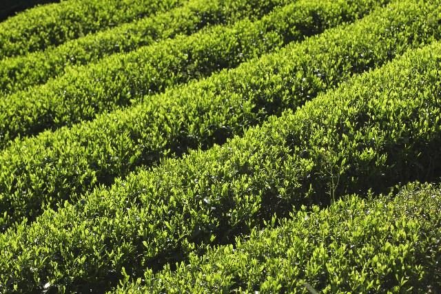 茶摘み 時期