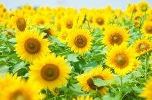 向日葵 花言葉