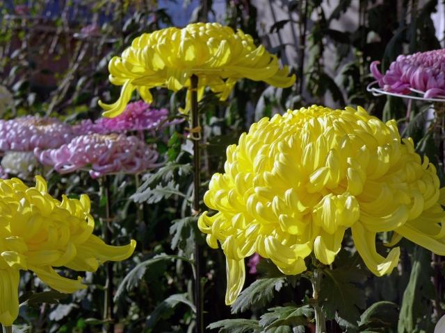 菊花の候 意味