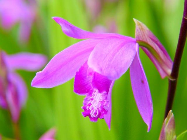 紫蘭 花言葉