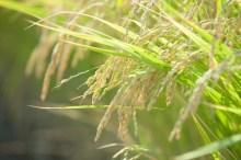 稲科 花粉症