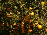 image of oranges in our garden at Cortijo Las Viñas