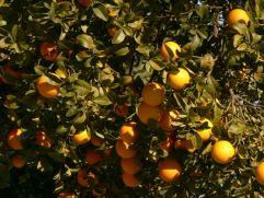 image of oranges in our garden at Cortijo Las Viñas