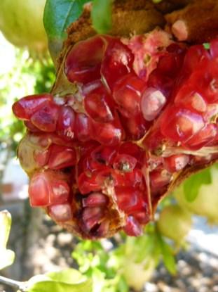 image of pomegranate i nour garden at Cortijo Las Viñas