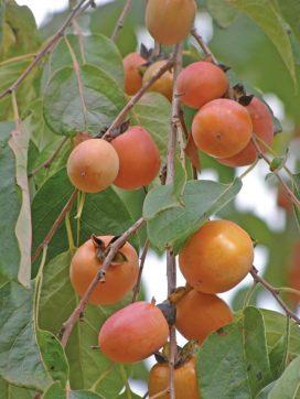 image of persimmon fruit in our garden at Cortijo Las Viñas