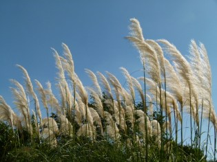 image of pampas grass in our garden