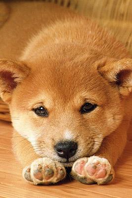 プリ画像の柴犬写真2