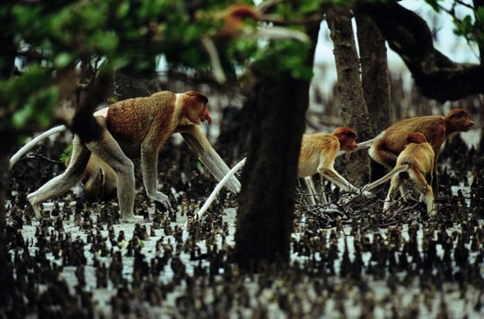 mangro2