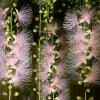 【サガリバナ満開】一夜限りの幻想的に咲く魅惑の甘い芳香花!!
