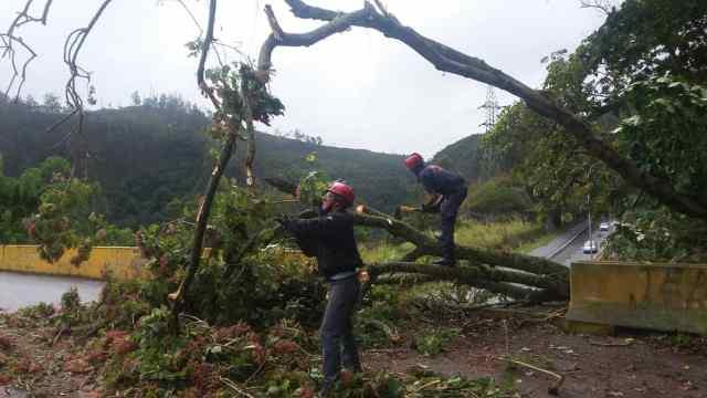 Árbol cayó sobre distribuidor del km 10 de la carretera Panamericana