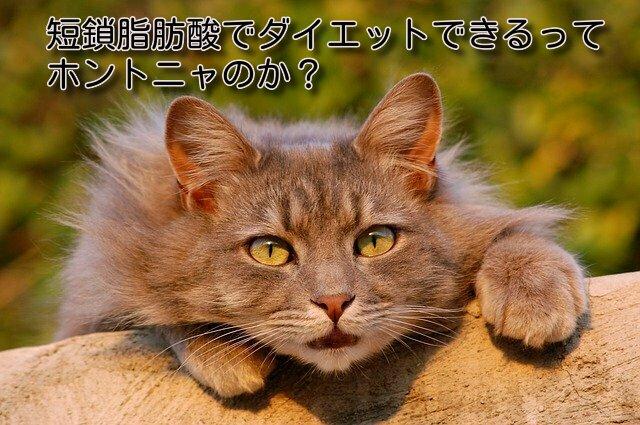 猫も短鎖脂肪酸でダイエット