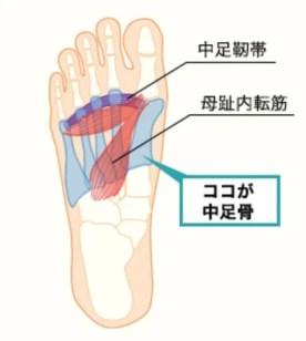 中足骨_筋肉_アーチ
